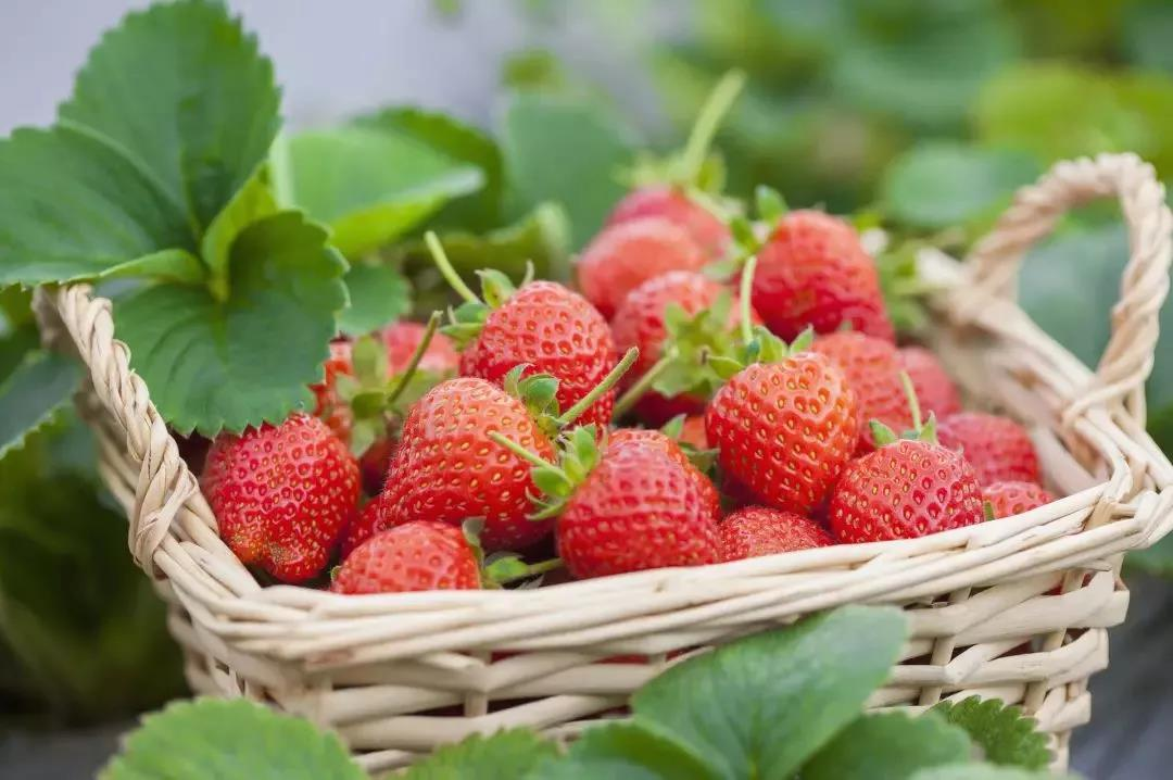 Go-Pick-Strawberry-at-the-Farm-Sweet-April-1