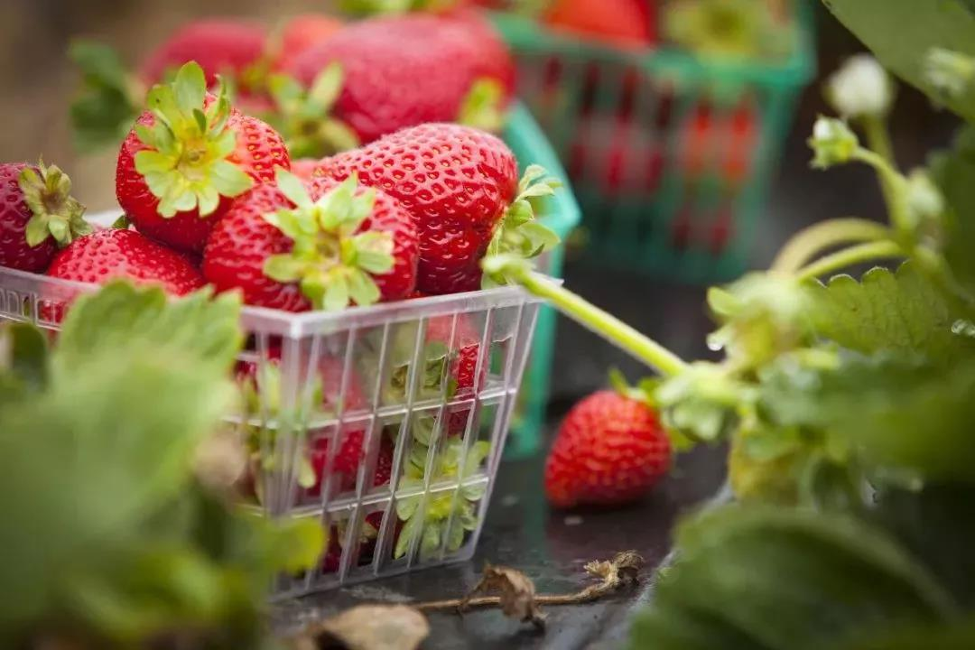 Go-Pick-Strawberry-at-the-Farm-Sweet-April-4
