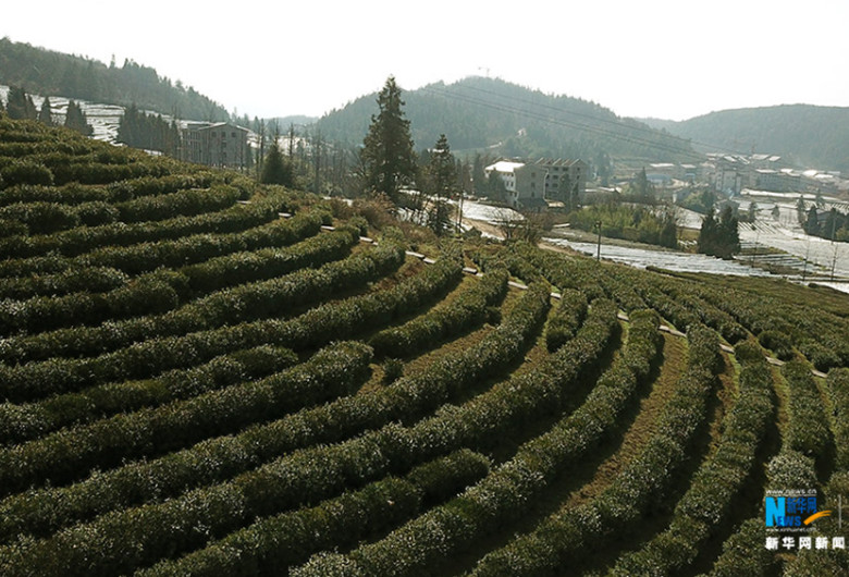 Two-Thousand-Mu-of-Tea-Garden-In-Wulong-2