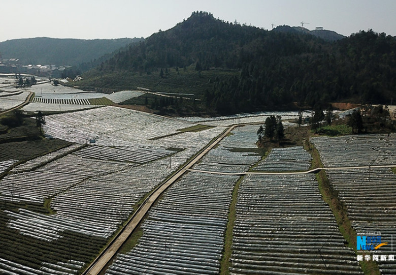 Two-Thousand-Mu-of-Tea-Garden-In-Wulong-4