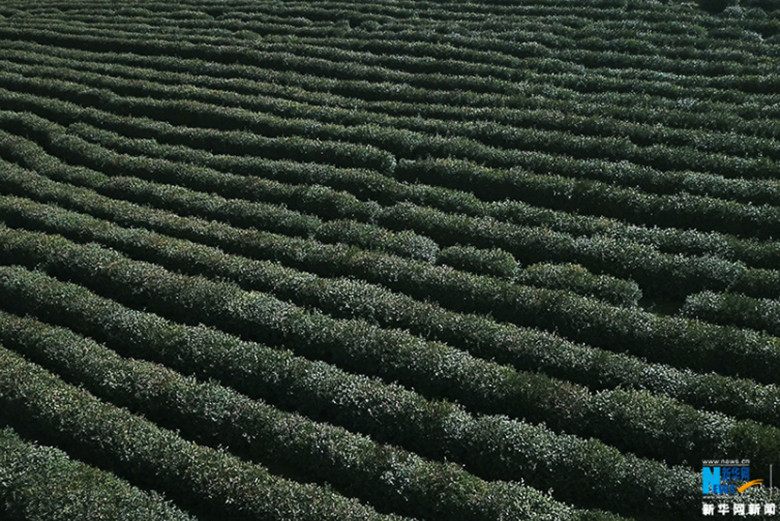 Two-Thousand-Mu-of-Tea-Garden-In-Wulong-6