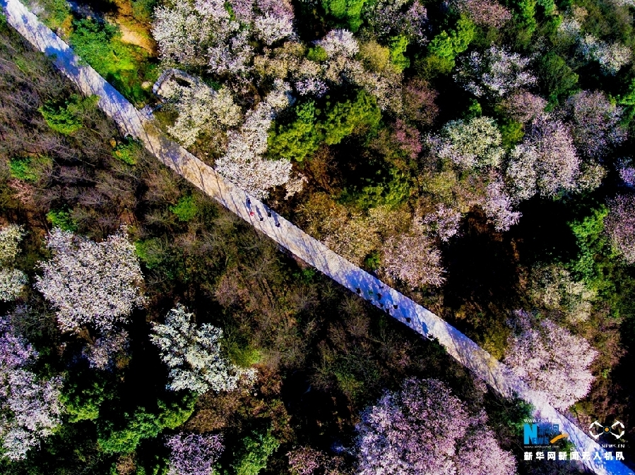 Decorate-Yungui-Mountain-with-Wild-Cherry-Blossoms-Yungui-Mountain-2