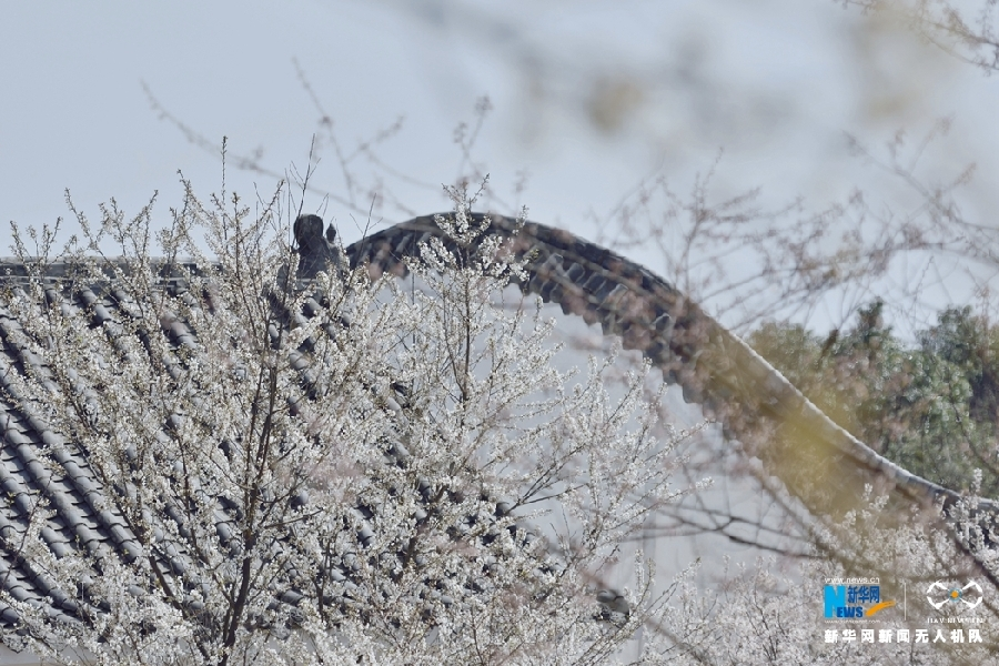 Decorate-Yungui-Mountain-with-Wild-Cherry-Blossoms-Yungui-Mountain-5
