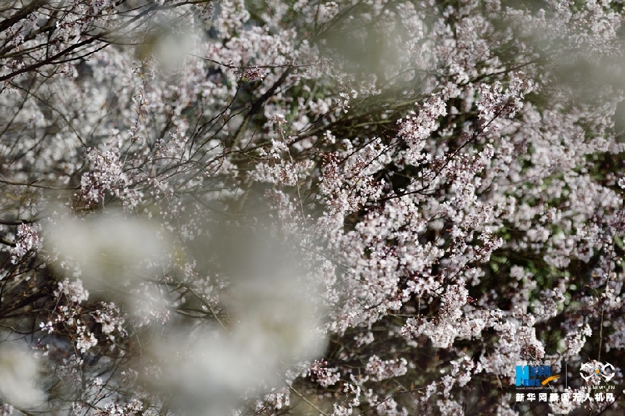 Decorate-Yungui-Mountain-with-Wild-Cherry-Blossoms-Yungui-Mountain-7