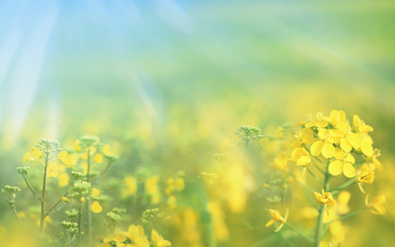 Golden Rapeseed Flowers-2