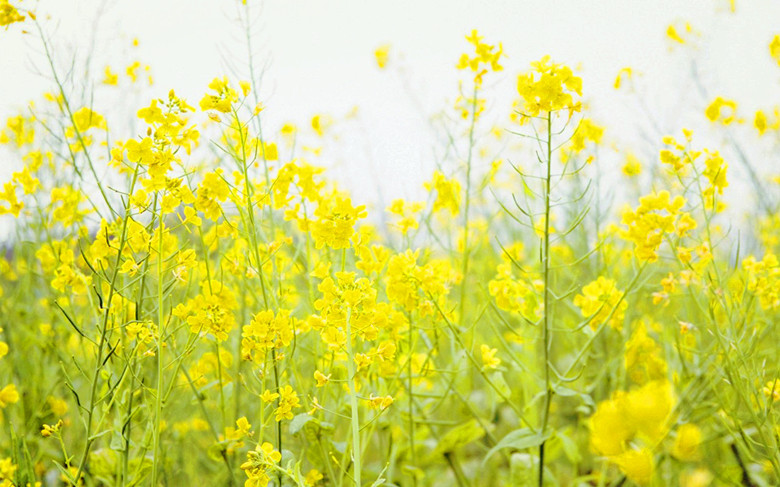 Golden Rapeseed Flowers-3