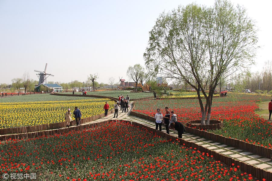 Colorful-Tulips-Blossom-At-Shandong-Park-4
