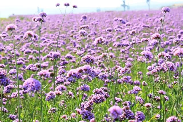 purple-flowers-bring-romance-to-early-summer-4
