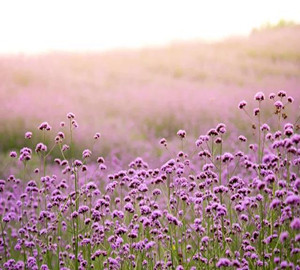 purple-flowers-bring-romance-to-early-summer